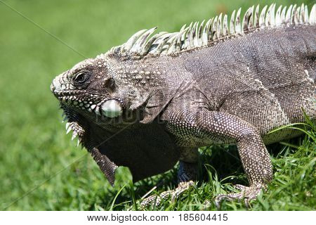 Detail of a lizard on grass