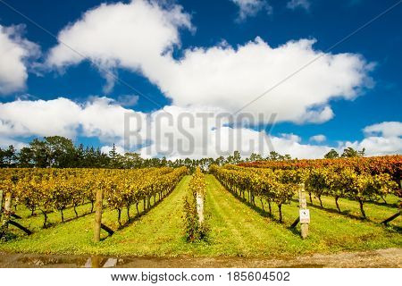vineyards in autumn, winery, grapes growing