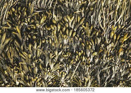 seaweed on a rock at low tide. bladderwrack seaweed background texture