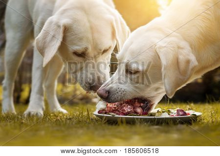 two young labrador retriever dog puppies eat a lot of meat together