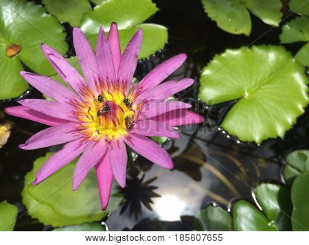 Lotus flower plants float in tranquil river garden with sun light reflection in a pond Bees sucking Nectar from Lotus Pollen Pink purple lotus focus-on-foreground with blur Lotus leaf background