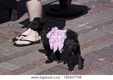 Close up view of a small black poodle with a pink cloth on her back stands beside her owner's feet in Burlington, Vermont on a sunny day in early May.