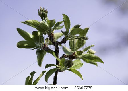 Close up view of a branch with fresh green buds spouting with soft focus sky background near Burlington, Vermont on a sunny day in early May.