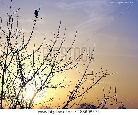 Starling on a tree branch at sunset in the spring