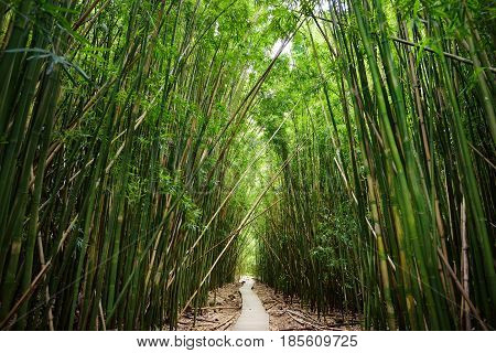 Wooden Path Through Dense Bamboo Forest, Leading To Famous Waimoku Falls. Popular Pipiwai Trail In H