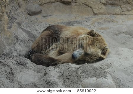 A grizzly bear laying in the dirt
