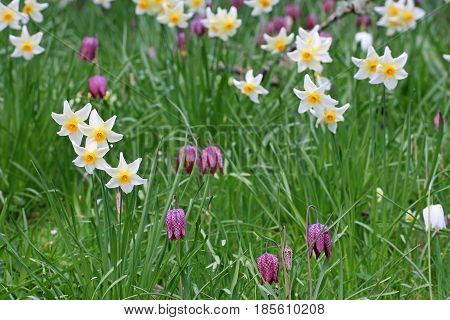 Daffodils and fritillaries flowering in the spring