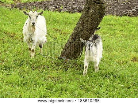 The goat and kid are in the village against the background of the nature..