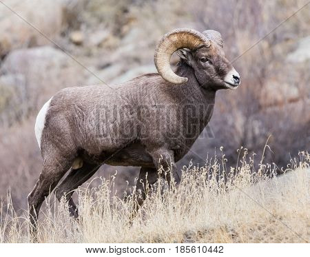 Bighorn sheep are wild animals in the Rocky Mountains of Colorado