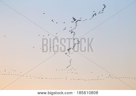 a flock of birds at sunset . Photo in nature