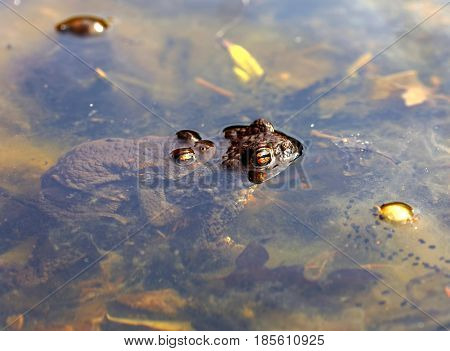 Closeup of two toad are mating in the pond sitting on top of each other. Latin name: Bufo bufo