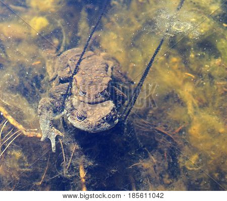 Two toad are mating in the pond sitting on top of each other a string off eggs from the female. Latin name: Bufo bufo
