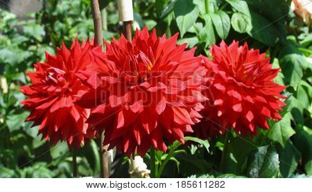 RED DAHLIAS,  WITH GREEN LEAFED BACK GROUND
