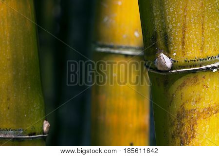 Beautiful color and lines of a stand of large bamboo in tropical garden shows details of bud and sections