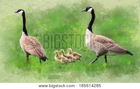 Majestic geese family with parents and three goslings walking through the grass watercolor painting effect.