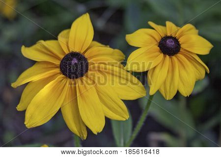 Wide close up of two vivid yellow Black Eyed Susan flowers with soft focus background near Cornwall, Ontario on a sunny day in August.