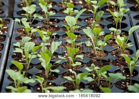 Organic vegetable, amish farm container grown plants