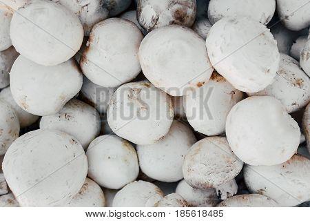 Mushrooms harvest. Mushroom background. many white mushrooms. Mushroom champignon