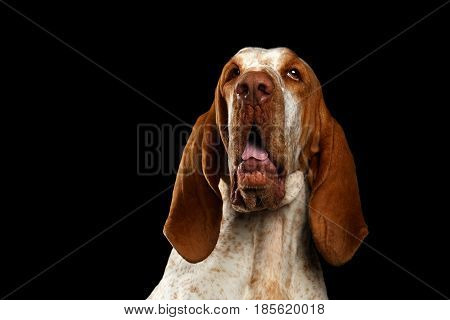 Portrait of Bracco Italiano Dog with Curious face on Isolated Black Background