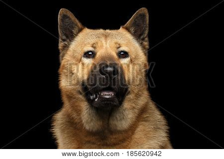 Portrait of Dog mix breed Akita Inu and Chow Chow Isolated on Black Background, blue tongue