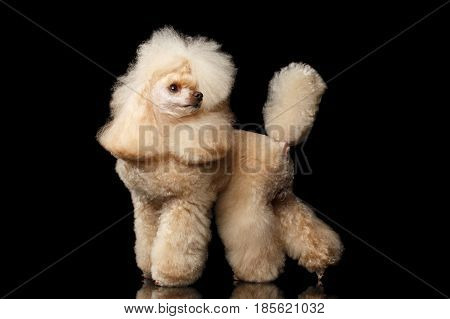 Groomed Red Mini Poodle Dog Standing and turn back on Isolated Black Background, side view
