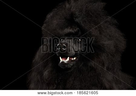 Close-up Portrait of Royal Poodle Dog with hairstyle Isolated on Black Background