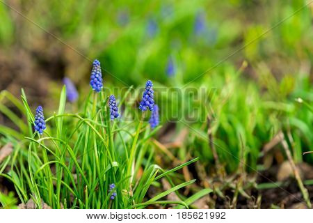 Natural flower background. Beautiful muscari hyacinth blooming on a green lawn in the garden or in park, copy space, selective focus.