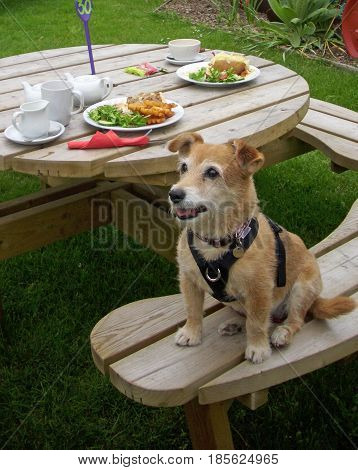 Cute Jack Russell cross Yorkshire terrier mongrel pet dog sat on a picnic bench with two plates of food behind. Looking hopeful of a meal.