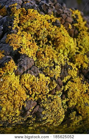 Yellow lichen on a river estuary rock with some of the rock just showing through. Focus in the centre. Possibly Caloplaca marina.
