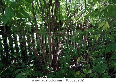 Elderberry bushes (Sambucus nigra) grow together in a garden next to a picket fence in Joliet, Illinois during July.