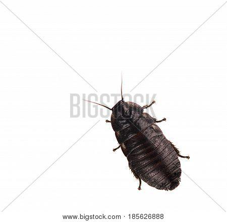 Madagascar hissing Cockroach isolated on white background
