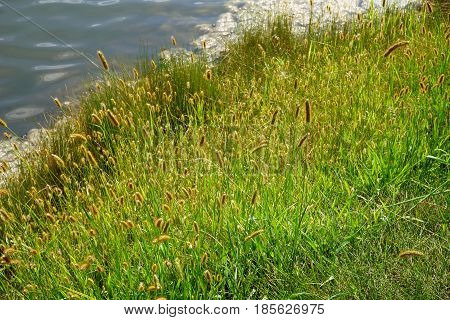 Yellow foxtail (Setaria pumila), also known as yellow bristle-grass, pigeon grass, and cattail grass, grows next to a small lake in Joliet, Illinois during August.