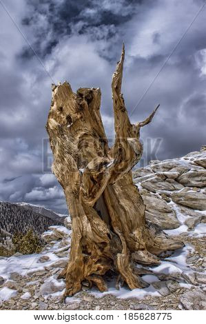 Ancient Bristle Cone Tree, Patriarch Grove, White Mountains, California, United States