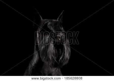 Portrait of Miniature Schnauzer Dog on Isolated Black Background, Profile view with Groomed fur on face