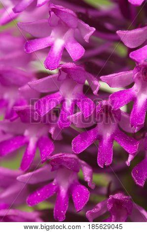 Detail Of Wild Pyramidal Orchid Flowers - Anacamptis Pyramidalis