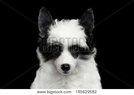 Portrait of Chinese Crested Puppy with Funny Black and White Fur Mask on Eyes Like Raccoon on Isolated Black Background, front view
