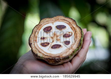 Fresh Cocoa fruit in a hand. Close up. Cut of raw cacao in Sri Lanka plantation.