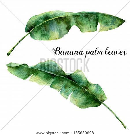 Watercolor exotic palm leaves. Hand painted banana branch. Tropic plant isolated on white background. Botanical illustration. For design, print or background.