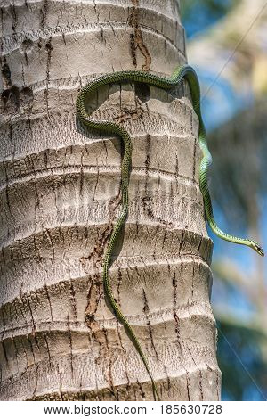 Golden tree snake or chrysopelea ornata climbing on coconut tree trunk, close up image