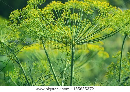 Flowering Green Dill Herbs Plant In Garden (anethum Graveolens). Close Up Of Fennel Flowers On Summe