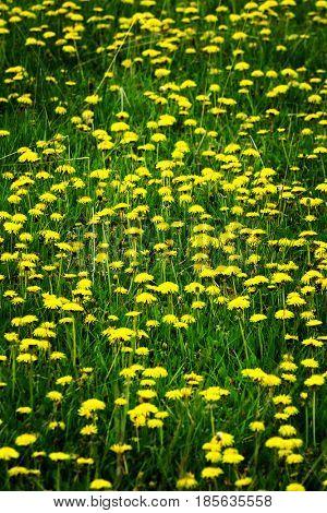 Vast vield of dandelions dandelion plants yellow flowers spring