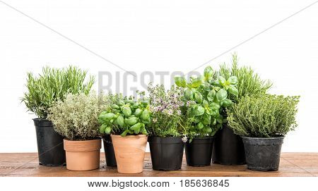 Potted fresh green herbs on wooden kitchen table. Basil rosemary thyme savory on white background