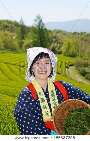 MITOYO, KAGAWA, JAPAN - APRIL 24, 2017: Young japanese woman with traditional clothing kimono harvesting green tea leaves on farmland of tea plantation