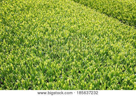 Beautiful fresh green tea plantation in a sunny day