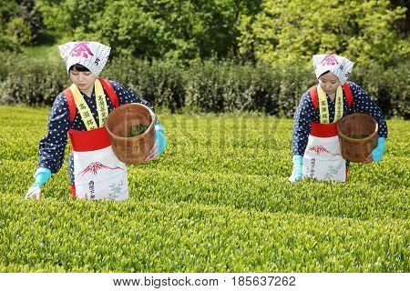 KAGAWA, JAPAN - APRIL 24, 2017: Young japanese women with traditional clothing kimono harvesting green tea leaves on farmland of tea plantation