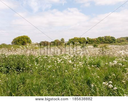 A Field Of New Cow Parsley In The Spring