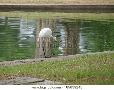 This egret was comical as he fished the large fountain pond. He had been successful a couple of times as he made his way around the edge.