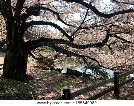 Spring sakura bloom in Tokyo city park