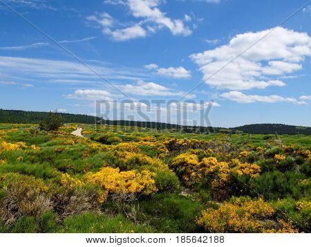 Heath with blooming brooms at Mont Lozere Cevennes mountains France