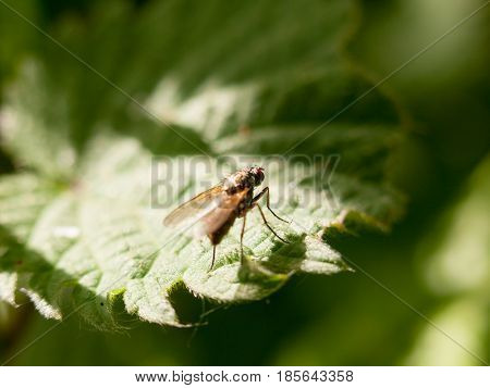 A Fly Resting At The Edge Of A Leaf Outside In Spring Meadow In Late Afternoon Light Insect Bug